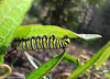 Monarch (Butterfly) Caterpillar 1-4.jpg (T.J. Stanley) Tags: monarch butterfly caterpillar weed butterflies butterflygarden insects milkweed nature monarchbutterflycaterpillar butterflyweed