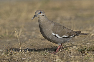 A long way from home!    White-winged Dove | Tourterelle à ailes blanches