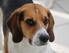 Lucky (LuckyMeyer) Tags: dog beagle schwarz weiss braun white black brown friend