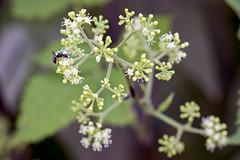 SLT04822 (rudenoon) Tags: sony slta99 sal135f18z garden flowers aralia spikenard araliaceae interlochen michigan usa