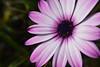 2017.09.02 Gerbera I - Playa Mirasol (wildlife_jpg) Tags: flower osteospermum macro nature africandaisy garden gerbera daisy purple spring jardin primavera naturaleza