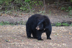 DSC_7330 Momma Black Bear looking around (futzr.fotoz) Tags: fort simcoe state park yakima county washington north american black bear oak apple trees alert alarm acorns