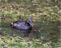 Little Grebe with fish (Explored) (hisdream) Tags: littlegrebe bullhead fish reeds nature river