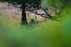 Laie (Arnaud LAUGIER) Tags: sanglier laie marcassins wildboar ongulés mammals mammifères mammalia libre sauvage wild wildlife nature natura natural faune fauna approche september septembre automne sigma 120300mm f28 tcx14 nikon d5500 clairière lisière champs pré sologne europe france morning matin plaine forest forêt