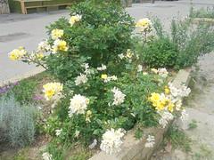 443 (en-ri) Tags: rose cespuglio rosses giallo verde foglie leaves sony sonysti aiuola