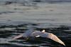 IMG_2491 (armadil) Tags: mavericks beach beaches californiabeaches bird birds egret snowyegret lowtide highlights