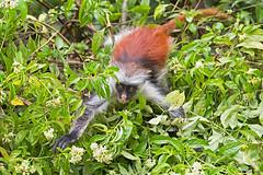 zanzibar-2017_DSC1638b-new5 (Marco Pozzi photographer (970k+ views, thanks)) Tags: redcolobus monkey jozani jozaniforestreserve zanzibar tanzania foresta scimmia africa marcopozziphotographer marcopozzi pozzi specanimal