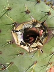 Voyeur (I'm Watching You) (Master Of Pixels :o)) Tags: kaktus cactus кактус canonpowershotsx100is yashajakovsky crikvenica hrvatska хорватия croatia europa europe цриквеница oko eye глаз obrva eyebrow бровь bodlje spines колючки бодље čovjek човек man человек viriti peeking выглядывая spying špijunirati špijunira шпијунирање шпионаж plant biljka биљка растение rupa hole рупа дыра holeincactus rupaukaktusu peekthroughcactus 2013 opuncija wrinkles