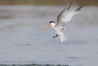 Just a Nice Looking Tern