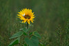 Holiday Inn(sects) (dlorenz69) Tags: insects hotel flower sunflower sonnenblume blume insekten sommer summer wiese meadow field single lone allein natur nature makro