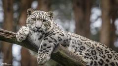 Cat-siesta (mmsig) Tags: 2016 ausflug cat irbis leopard pantherauncia raubkatze schneeleopard tierpark wildpark groskatze lüneburger heide animal portrait snowleopard mmsig canon 60d greatshot deutschland germany