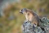Murmel (MichaelMerl) Tags: murmeltier marmot österreich austria