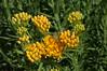butterfly weed (rovingmagpie) Tags: utah canyonlandsnationalpark canyonlands squawcanyonbigspringcanyonloop butterflyweed asclepiastuberosa mtnhc
