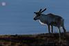 Dusk Encounter (Rhapsody-In-Blue) Tags: norway finnmark varanger wildlife birdwatching animal nature norvège animalportrait vardø renne rangifertarandus reindeer mammal mammifère