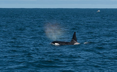 Wild Orca (finor) Tags: sony alpha a6500 ilce6500 sal70400g2 orca whale nature wildlife iceland snaefellsnes