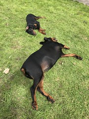 """""""Let's just relax for a moment or two"""" - Dobermann Pinschers Gabbana And Saxon (firehouse.ie) Tags: girl boy puppy young female male animals animal dogs dog gabbana saxon k9 pinschers pinscher dobermann doberman dobermanns dobermans dobeys dobey dobies dobie dobes dobe"""