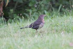 DSC01396 (sylviagreve) Tags: 2017 bird oldenzaal
