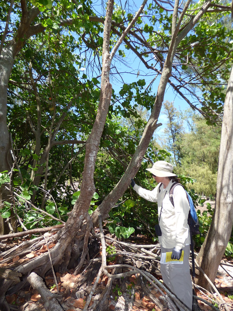 starr-170624-0914-Ficus_macrophylla-dead_tree_with_Kim-West_Beach_Sand_Island-Midway_Atoll