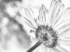 Fading (Astroredg) Tags: flower fleur daisy marguerite bw blackandwhite nb noiretblanc highkey drawinglike minimalist minimalisme fading affaibli bokeh diffusedlight seffaçant passant photographia