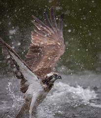Splash! (MatsOnni) Tags: 2017 linnut sääksi kalasääski pandionhaliaetus osprey