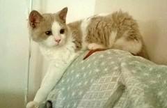 Néo (Antiphane) Tags: cat chat chaton kitten pet animal de compagnie selkirk rex