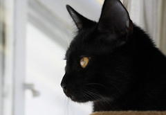 Bird watching (emmaellathomas) Tags: blackcat