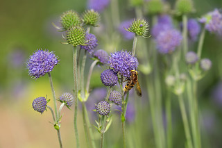 Devil's-bit scabious visited by a Hornet hoverfly (Explored)