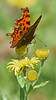 Coma Butterfly (Nellia Sadler) Tags: coma butterfly insects bugs kent portrait insect nature wildlife