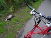 Death (stevenbrandist) Tags: badger death dead path moulton tsr27 red spaceframe commuting commute morning blackandwhite