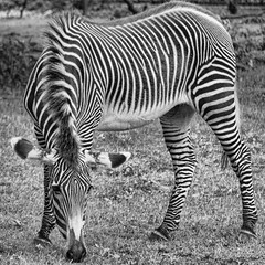 Grevy's Zebra in B&W (Pejasar) Tags: normanpublicschools bothertonfirstgrade 2017 fieldtrip may riversclass oklahomacityzoo grevyszebra blackandwhite bw stripes