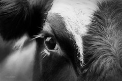 A Cow Named Doggie (lensletter) Tags: ranch animals animal ranchanimals farmanimals cow cows blackandwhitecow blackandwhite tmi lensletter eyelashes eye mig