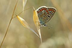 Wildlife (Darea62) Tags: butterfly insect animal nature plant wildlife commonblue polyommatusicarus argo argoazzurro