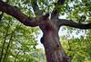 old man oak (Mark.Swanson) Tags: oak redoak quercusrubra woods forest merwinpreserve parklandsfoundation mcleancounty illinois