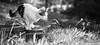Attack (tommyramonelarsen) Tags: cat feline animal attack ready summer norway bliss cute beautiful blackandwhite nature natural light