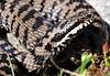 Vipera berus (aspisatra) Tags: vipera berus marasso vipère pèliade serpente viper adder ticino