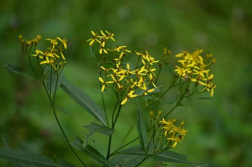 [Asteraceae] Senecio ovatus (Fuchs' Greiskraut)