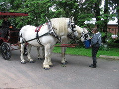 White Horses, Red Carriage, Blue Bucket (Coyoty) Tags: harrietbeecherstowecenter hartford connecticut ct historical landmark white horses red carriage animal equine transportation green gray grey feeding heart brown buggy newengland literature author writer books street beauty beautiful animalplanet creature mammal people summer city urban color obligatory obt black flickrbestpics
