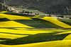 Rapeseed flowers and wheat field 油菜花麥田 (MelindaChan ^..^) Tags: rapeseed flowers wheat field 油菜花麥田 油菜花 麥 田 qilian qinghai china 青海 祈連 祈連山 agriculture plant chanmelmel mel melinda melindachan pattern