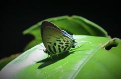 DSC_0795 (Pasha Kirillov) Tags: malaysia geo:country=malaysia borneo sabah kinabalunationalpark lepidoptera taxonomy:order=lepidoptera lycaenidae taxonomy:family=lycaenidae
