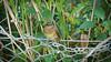 2DG_1087 (purple_girl_bristol) Tags: chewvalley rbin nikond7000 nikon18200mm wildlife bird babybird somerset