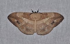 DSC_1046 (Pasha Kirillov) Tags: malaysia geo:country=malaysia borneo sabah lepidoptera taxonomy:order=lepidoptera crockerrangepark moth