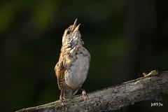 Carolina Wren (jt893x) Tags: 150600mm bird carolinawren d500 jt893x nikon nikond500 sigma sigma150600mmf563dgoshsms songbird thrythorusludovicianus wren specanimal