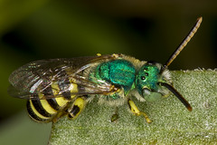 256/365  Metallic Green Sweat Bee (Agapostemon texanus?) (Halictidae)