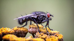 Lord of the flies (Unicorn.mod) Tags: 2017 macro fly nature plant summer insect canoneos6d canonef100mm28lisusm canon
