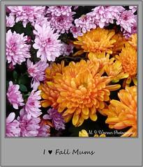 Chrysanthemum 16 (M.J.Woerner) Tags: november fallmums asteraceae chrysanths autumcolors postermums chrysanthemum autumflower