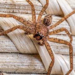 Frank's Spikey! (Eddy Summers) Tags: spider macro cute spikey hairy pixelshift pentaxk1 aussiespider topazclarity topaz