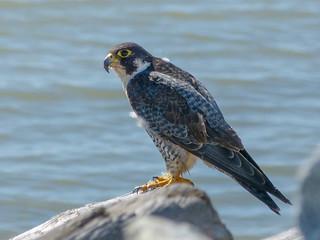 P1040717-Falcon
