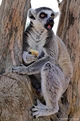surprised ! (@Katerina Log) Tags: animal wild wildlife wildanimal tree lemurcatta zoo nature natura katerinalog sonyilce6500 outdoor daylight depthoffield bokeh epz18105mmf4goss