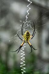 yellow and black garden spider (Argiope aurantia)