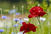 Poppies and Cornflowers. (daveduke) Tags: poppies cornflowers tattonpark sonya7rm2 sonyilcea7rm2 sonyfe70300mmgoss